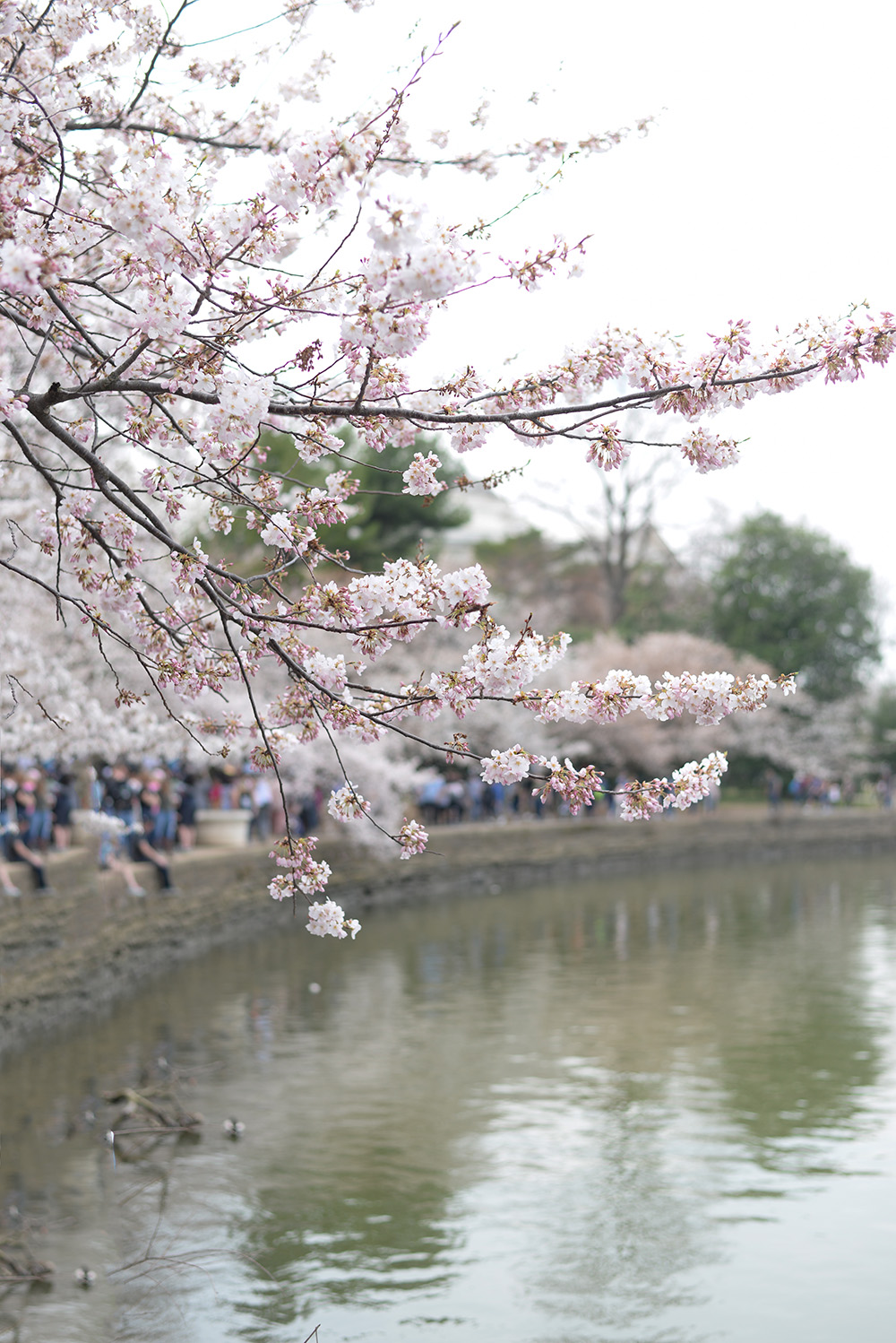 Why you need to see the Cherry Blossoms in Washington, D.C.